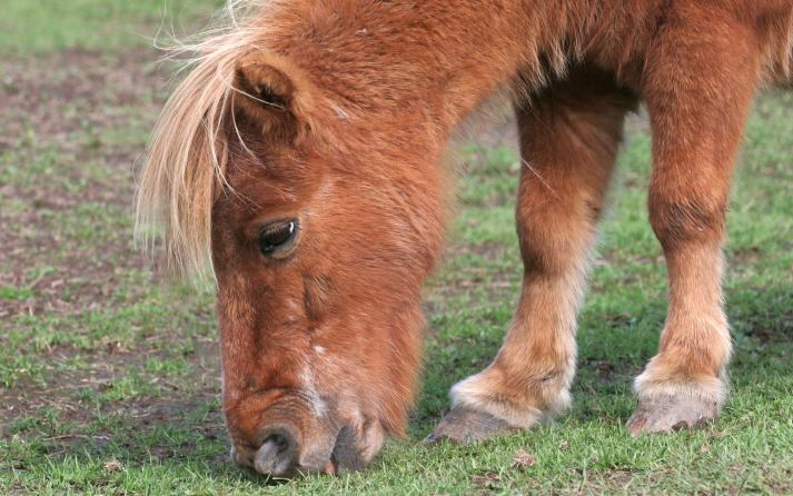 shetland-pony-wallpapers-free-picture