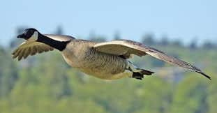 images Geese
