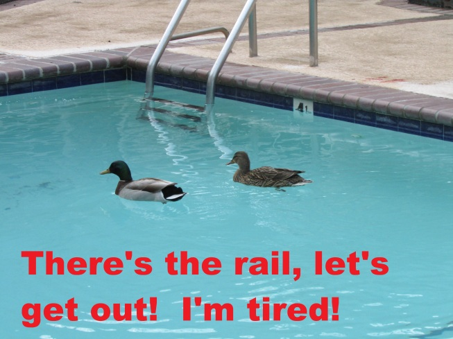 Time For A Swim Ducks
