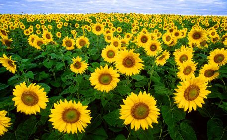 Sunflowers Public Domain Department of Agriculture